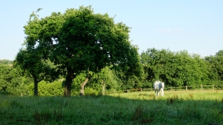 a white horse in a paddock in stinderbrook valley