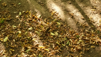 drought dropped leaves in sunlight near deilbach