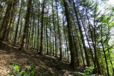 tall pines near niederelfringhausen